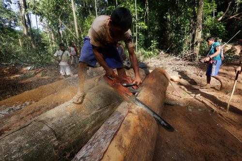A Ka'apor Indian warrior uses a chainsaw to ruin one of the logs they found during a jungle expedition to search for and expel loggers.
