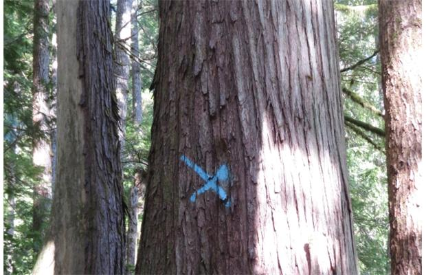 A large red cedar has been marked for logging in the Walbran Valley on Vancouver Island where the B.C. Ministry of Forests has approved a cutting permit for Teal-Jones Group.