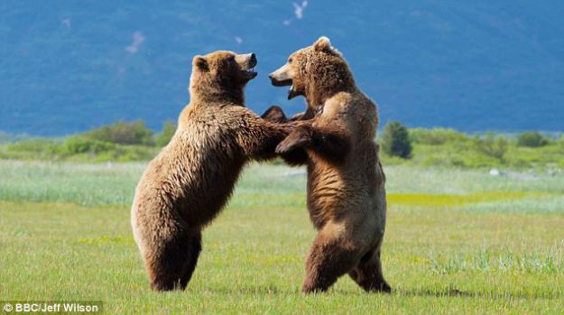Lucrative: The provincial government hands out 300 licences to hunt grizzly bears, pictured.