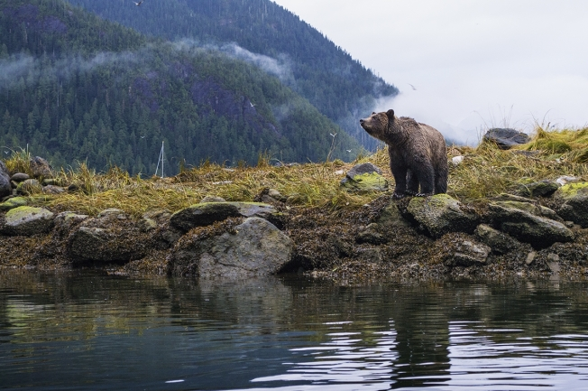 Grizzly bear in Great Bear Rainforest. Photo by Sophie Wright